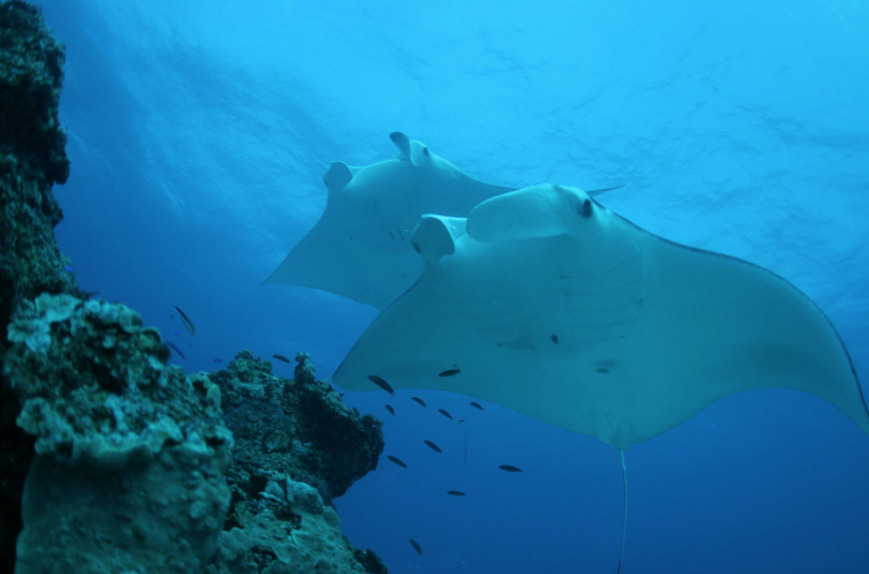 Photo Credit: Dr Kathy Townsend – Mantas at Lady Elliot Island GBR